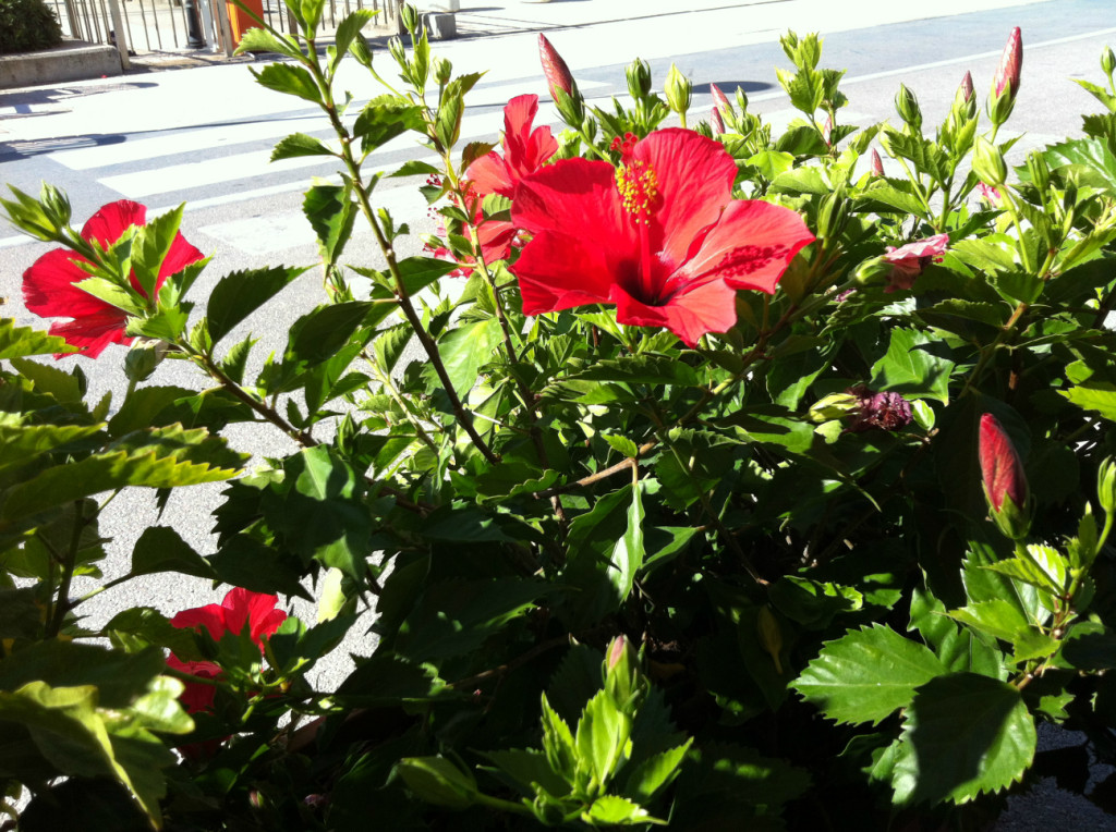 ローマのヨットハーバー ハイビスカスの花